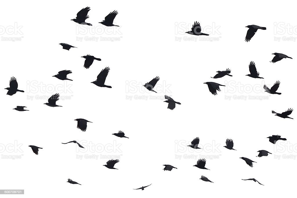 Silhouettes of Crows Flying stock photo