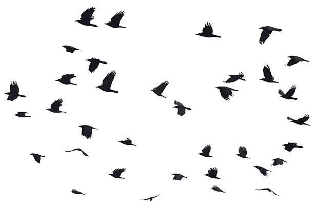 Silhouetten von Crows Fliegen – Foto