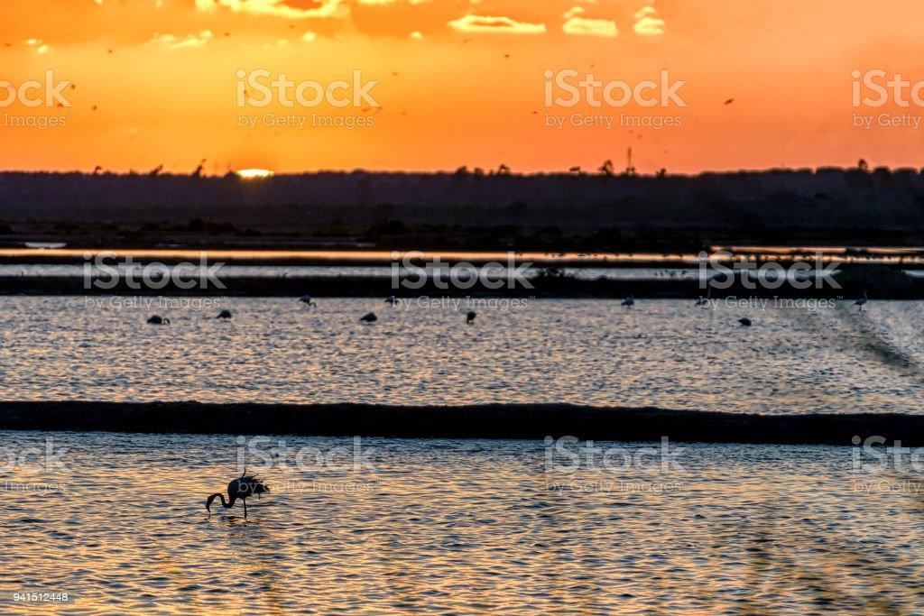 Silhouettes of flamingos feeding in lake at sunset. stock photo