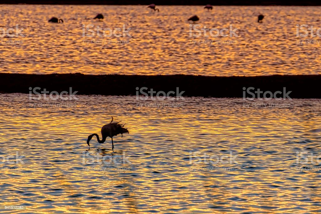 Silhouettes of flamingos feeding in the water with sunset reflections. stock photo