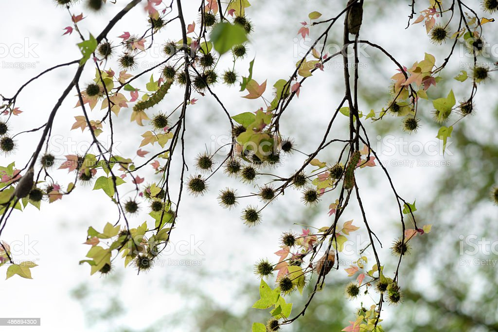 Silhouettes Of Maple Tree Seed Balls Against White Sky Background Stock  Photo - Download Image Now