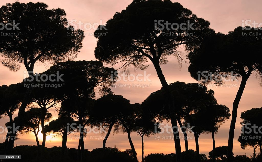 Silhouettes of pine trees at sunset, Donana National Park,Spain stock photo