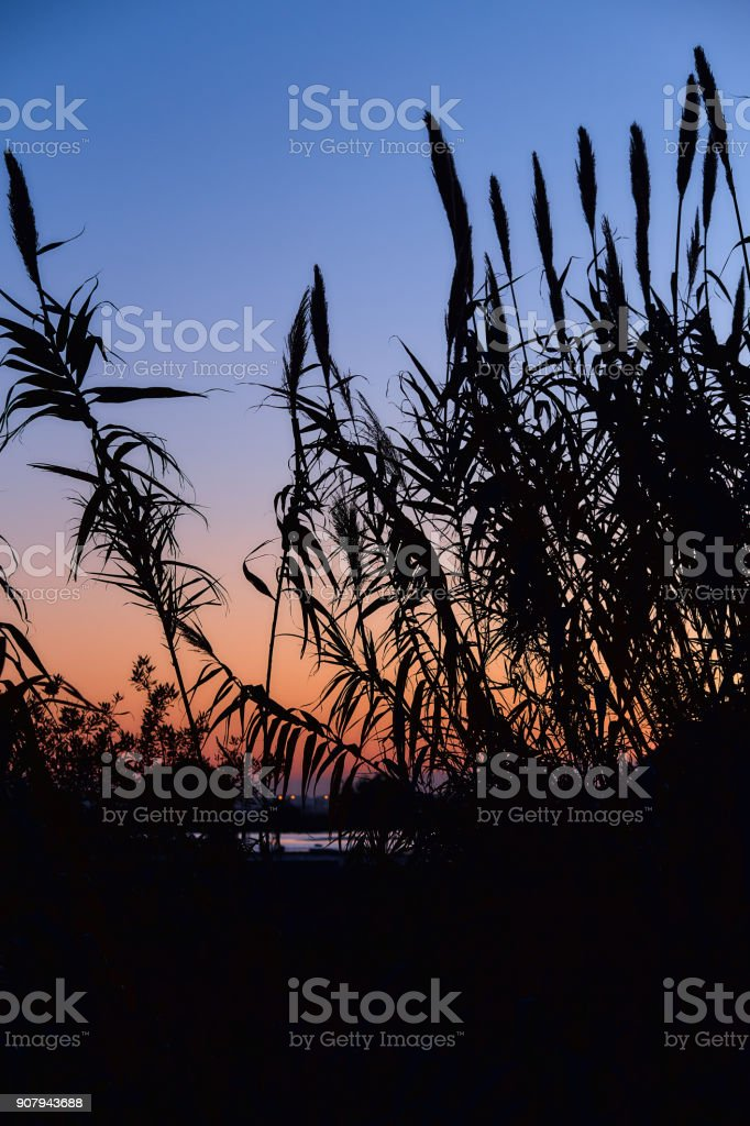 Silhouettes of reeds in the background of the rising sun. Beautiful dawn with silhouettes of reeds against a background of clear sky. Blue and orange sky without clouds. stock photo