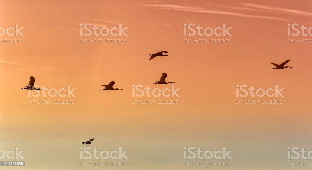 Silhouettes of spoonbills flying with sunset sky. stock photo