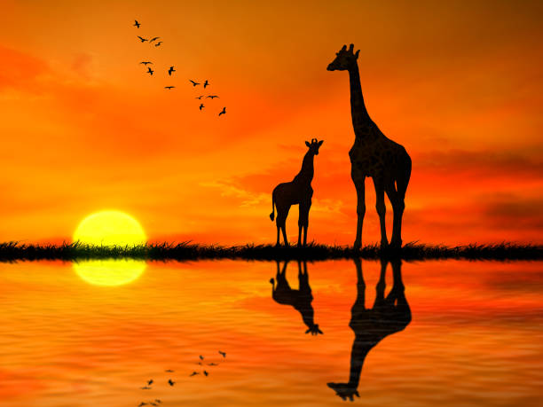 Silhouettes of two giraffes with reflection in lake water against picture id663389878?b=1&k=6&m=663389878&s=612x612&w=0&h=ph1hq630qcudpioh3r2imt1jjofpnafc xchbz5gc3o=