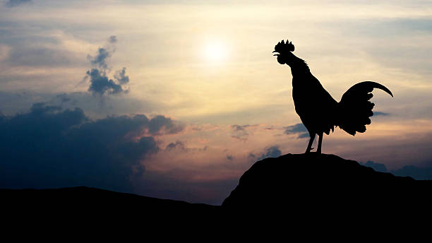 Silhouettes rooster crows in the morning stock photo