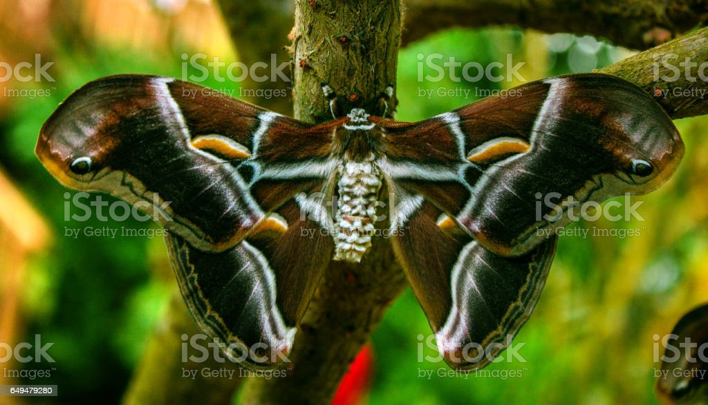 Silk butterfly (Samia ricini) stock photo