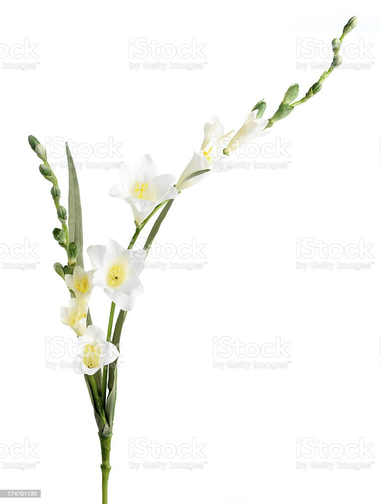 Silk Flower Freesia Cream Stem stock photo