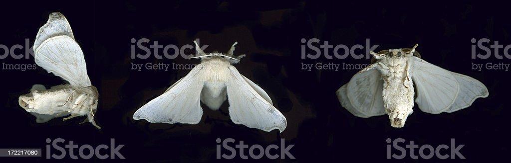 Silk Moth royalty-free stock photo