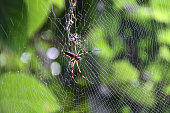 Silk spider in a spider web in Costa Rica Tortuguero