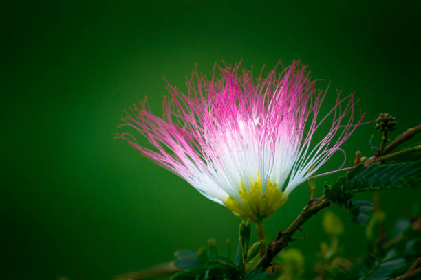 Royalty free silk tree pictures images and stock photos istock silk tree flower stock photo mightylinksfo