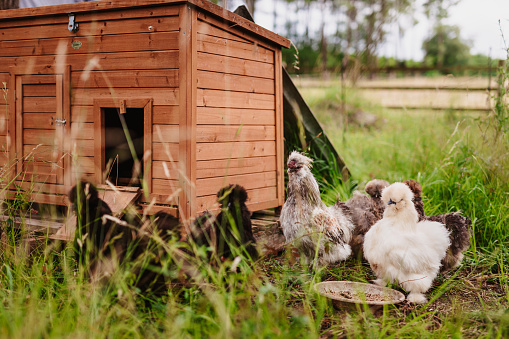 Silkie hens and rooster in the outdoor enclosure in the countryside. Color editing. Selective focus. Part of a series.