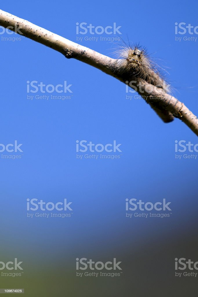 Silkworm caterpillar on a branch against the blue sky stock photo