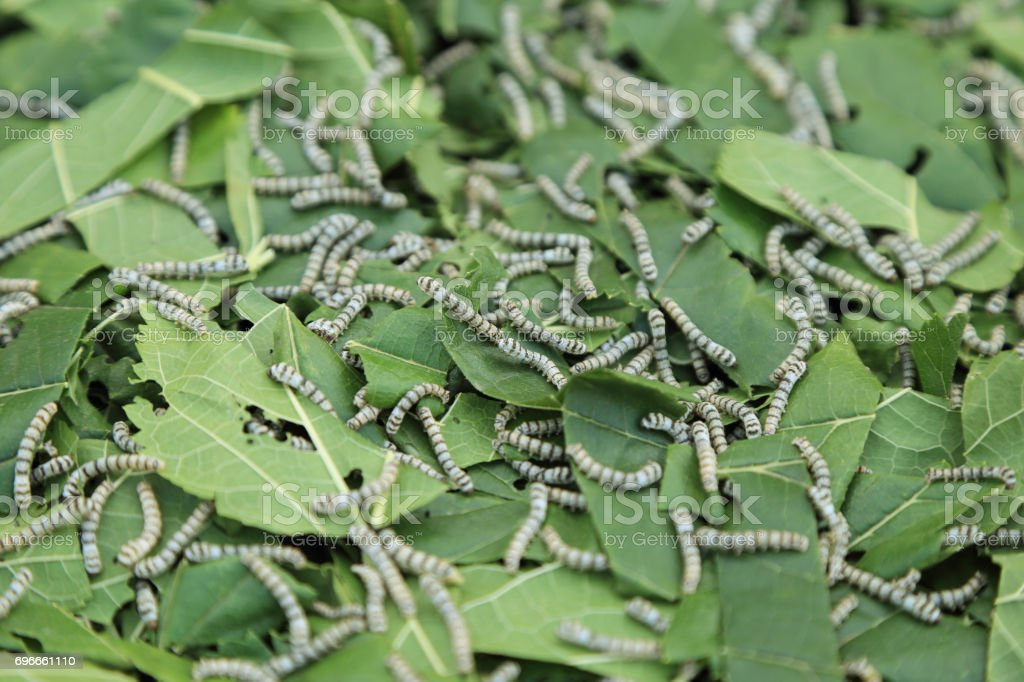 Silkworm eating mulberry green leaf. - fotografia de stock
