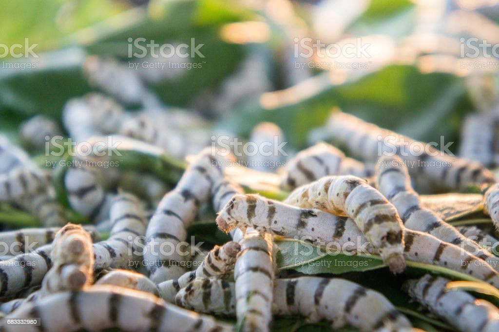 silkworm on mulberry leaf , worm larvae ,eating mulberry leaf , And pods are pupae royalty-free stock photo