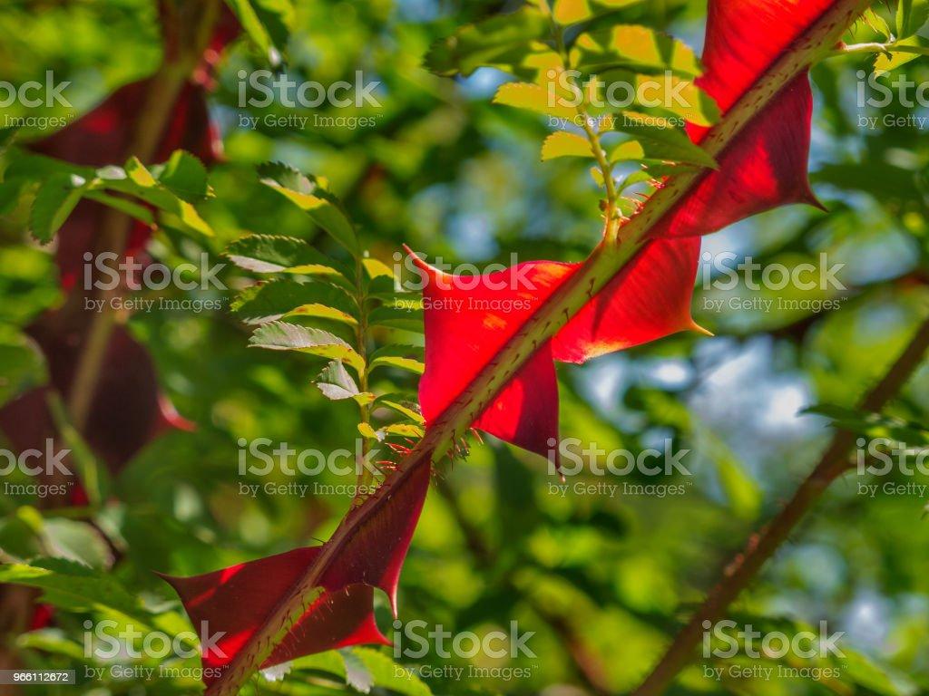 Silky rose close up - Стоковые фото Без людей роялти-фри