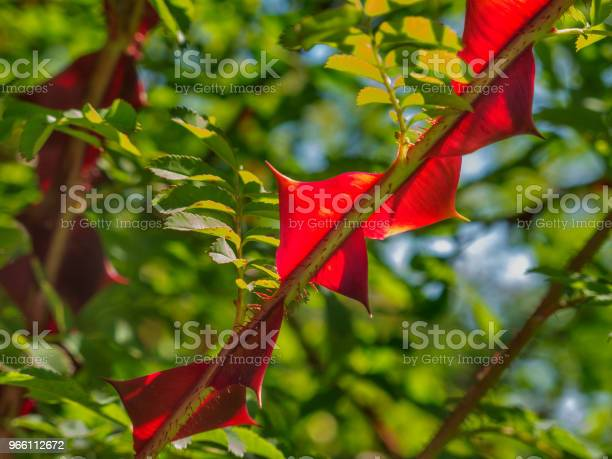 Silkeslen Rose Närbild-foton och fler bilder på Blomma