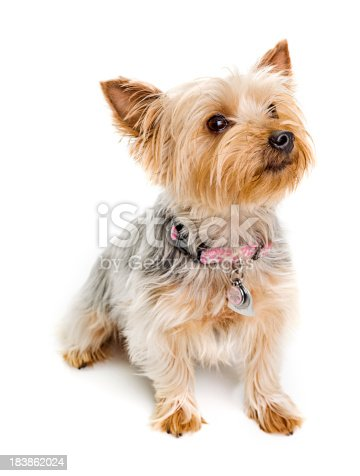 Silky terrier isolated on white.