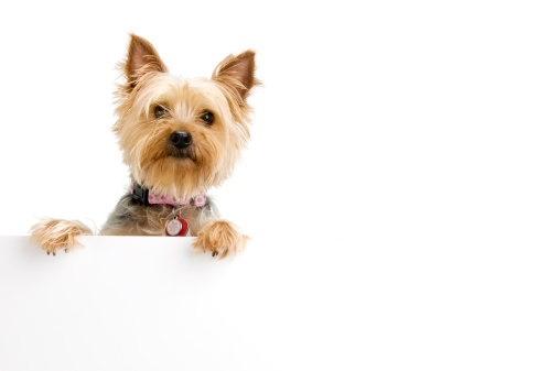 Silky terrier with blank sign.  Please see my portfolio for other dog and animal related images.