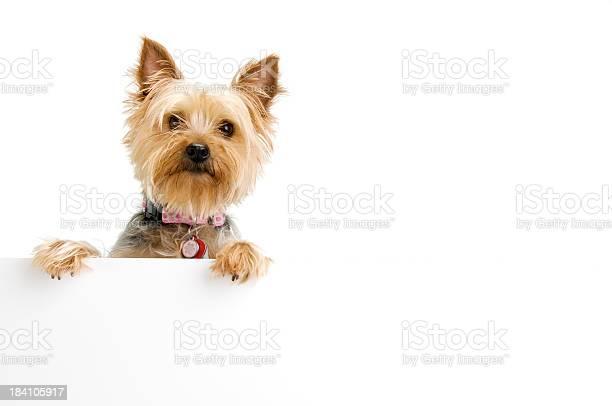 Silky terrier picture id184105917?b=1&k=6&m=184105917&s=612x612&h=nkuw0fk hjo24j6mlaipmsifxvx5kc4wj3hy65fmndw=