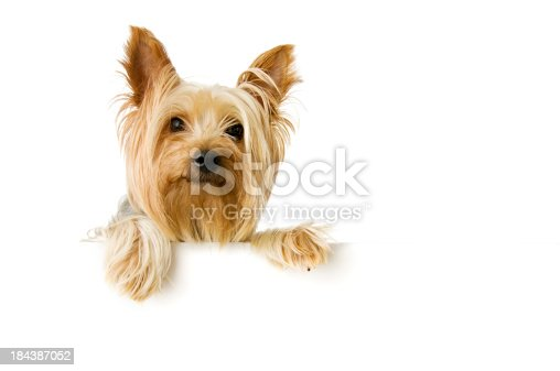 Silky Terrier on white background.  Please see my portfolio for other dog and animal related images.