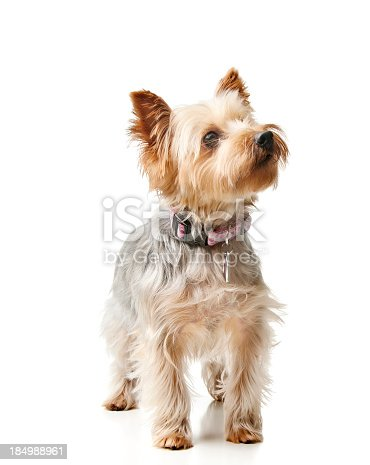 Purebred silky terrier looking up.  Please see my portfolio for more dog and other animal images.