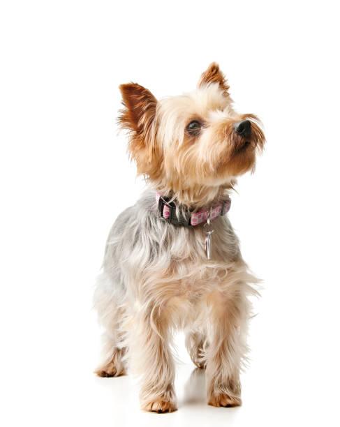 silky terrier - safkan köpek stok fotoğraflar ve resimler