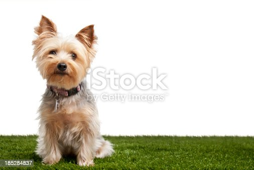 Silky terrier isolated on white background on green grass.  Please see my portfolio for other dog and animal pictures.