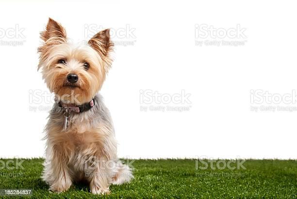 Silky terrier picture id185284837?b=1&k=6&m=185284837&s=612x612&h=qra9girwf5erel089qlt0k pwyvlzixqf9kg8rmbfiw=