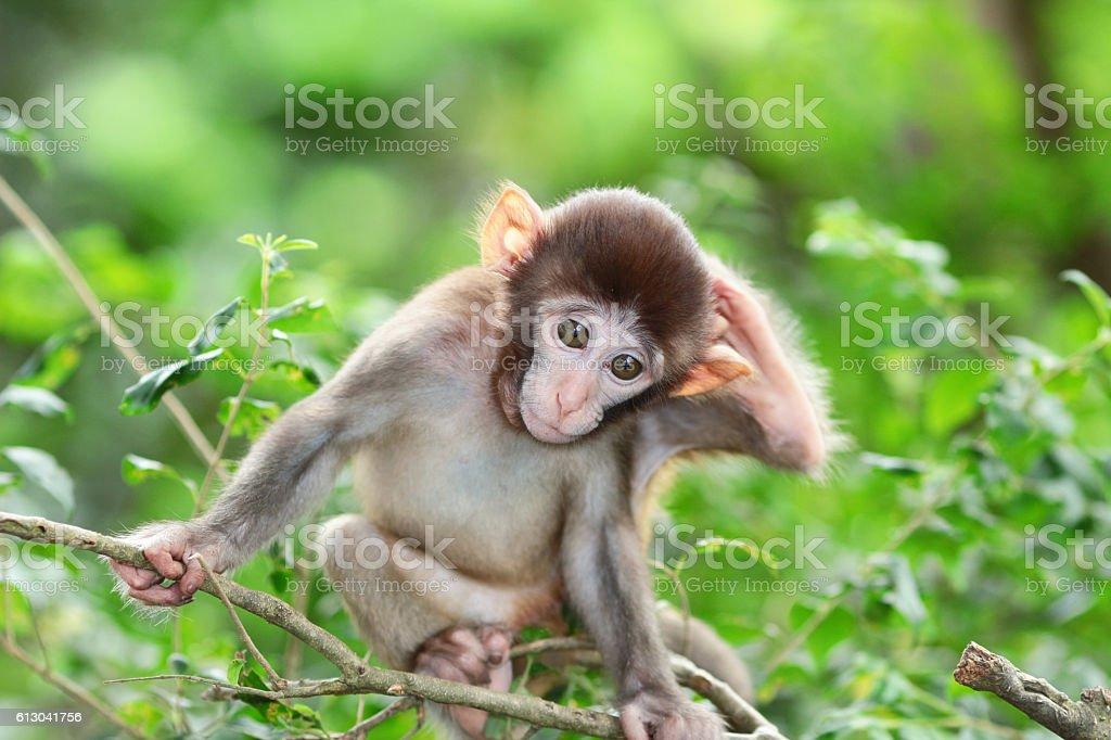 silly albino macaque in Hong Kong stock photo