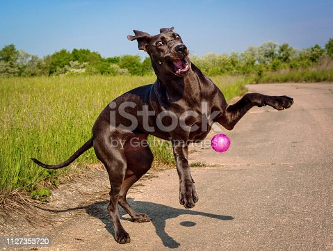 A silly and goofy blue colored great Dane puppy plays with her bouncy pink ball outside