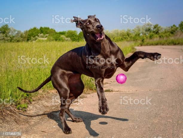 Silly blue great dane puppy plays with her pink ball picture id1127353720?b=1&k=6&m=1127353720&s=612x612&h=hs2yaln2fsu jpl4uuzbmvldgmlkk0tivju9dal0yvu=