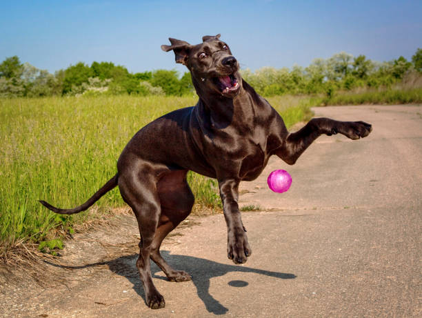 Silly blue great dane puppy plays with her pink ball picture id1127353720?b=1&k=6&m=1127353720&s=612x612&w=0&h=eobg pgbbmgzq0ac3dwdaepnoziwjrft6suvw qsgbc=