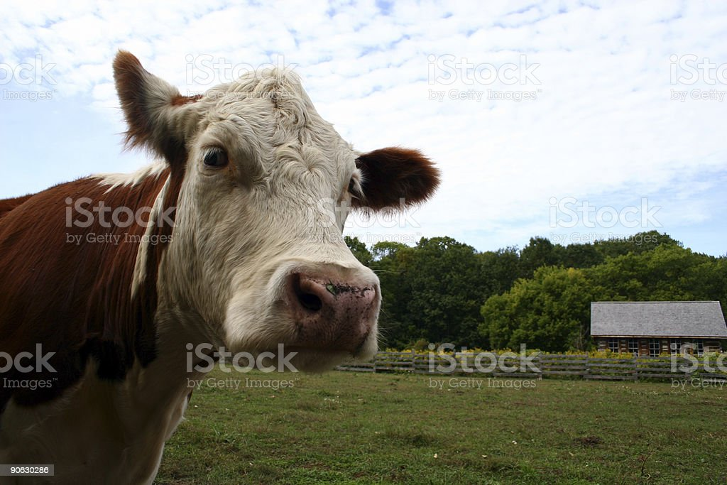 silly cow royalty-free stock photo