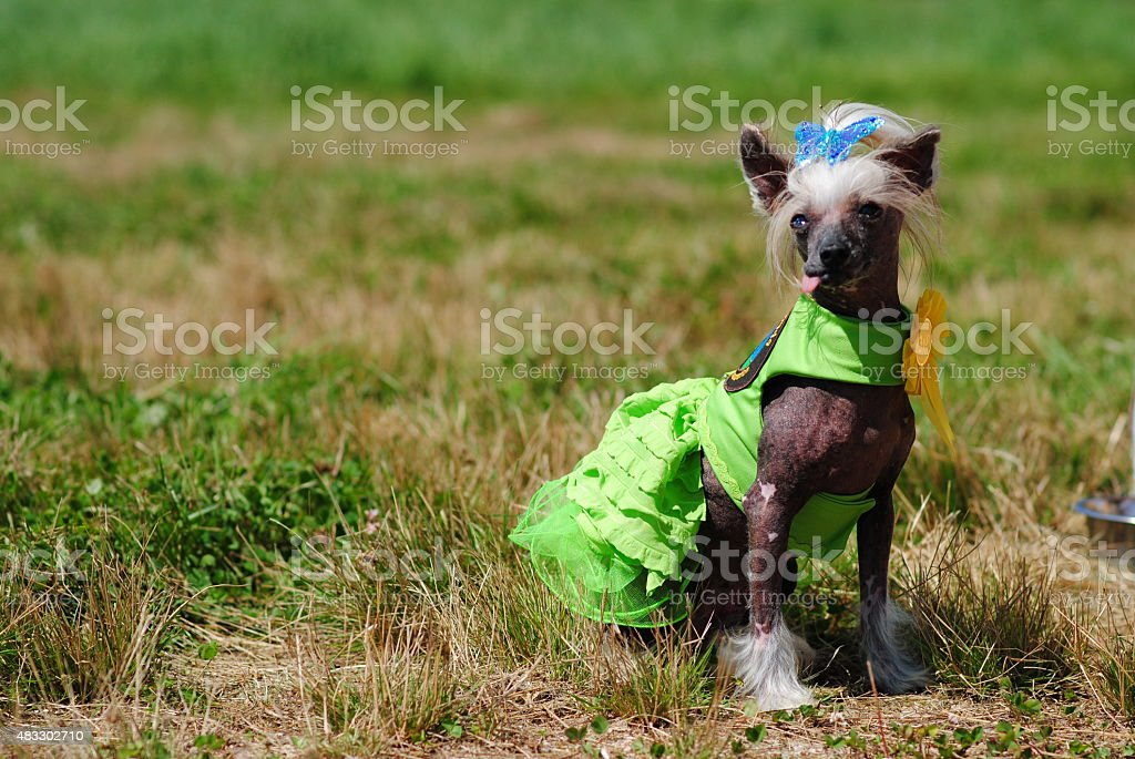 Silly Dressed Up Dog stock photo