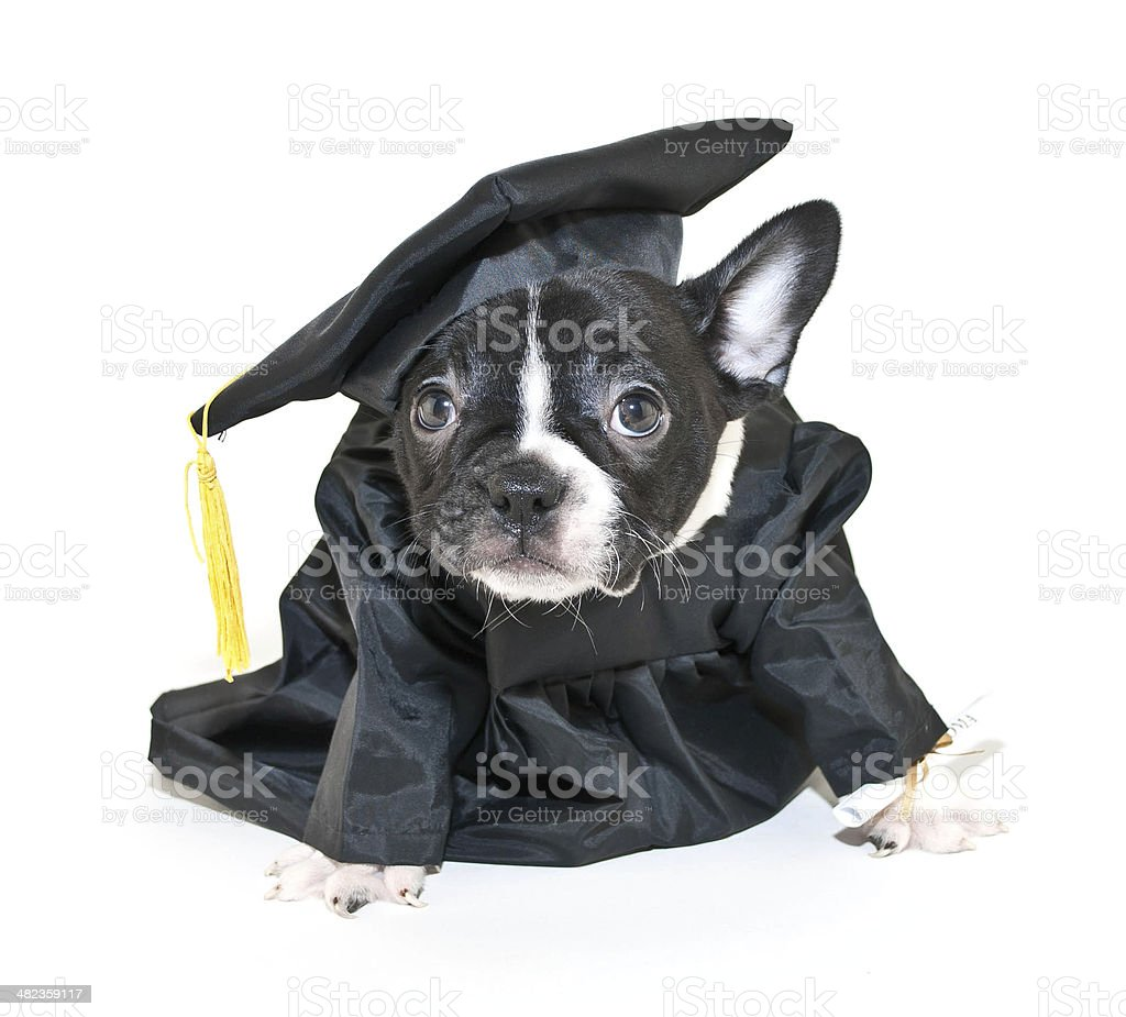 Royalty Free Dog Graduation Cap And Gown Pictures Images And Stock