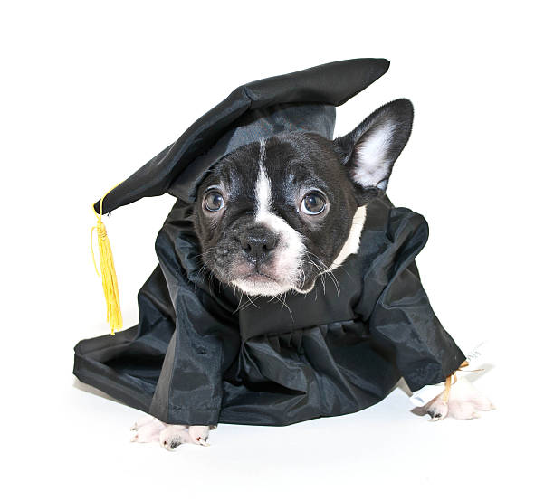 Royalty Free Dog Graduation Cap And Gown Pictures, Images and Stock ...