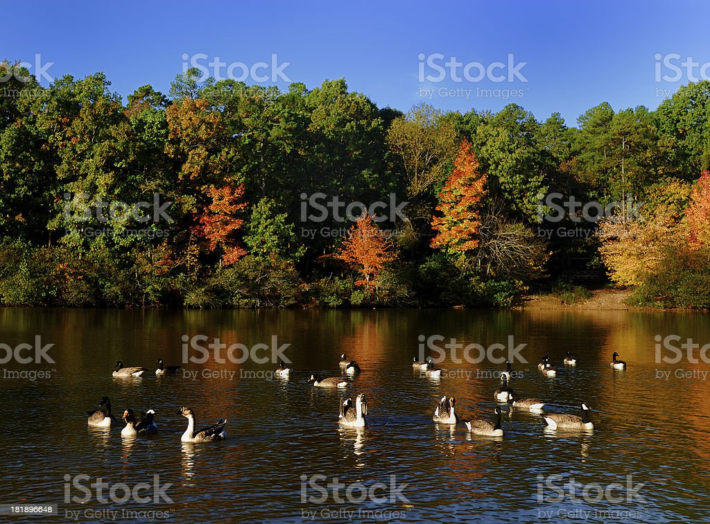 Silly Geese royalty-free stock photo