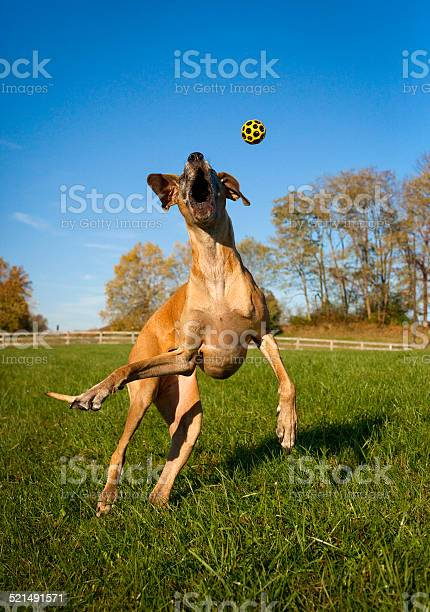 Silly great dane leaping for ball picture id521491571?b=1&k=6&m=521491571&s=612x612&h=q8b2iumugxdbr3zbon93ydtpmdvepx4 2zkzylyerdc=