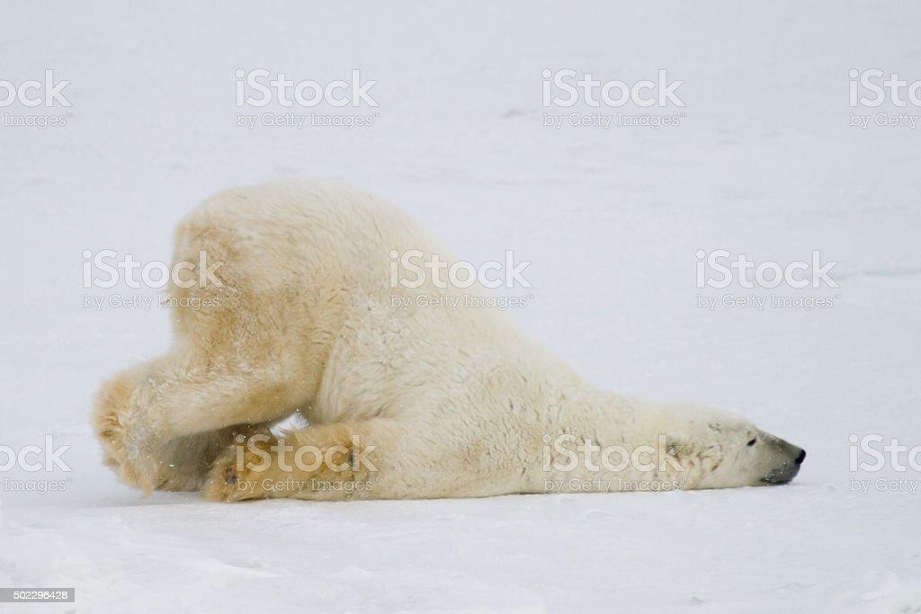 Lustige polar bear – Foto