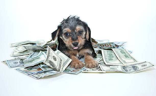 Silly Rich Morkie Puppy stock photo