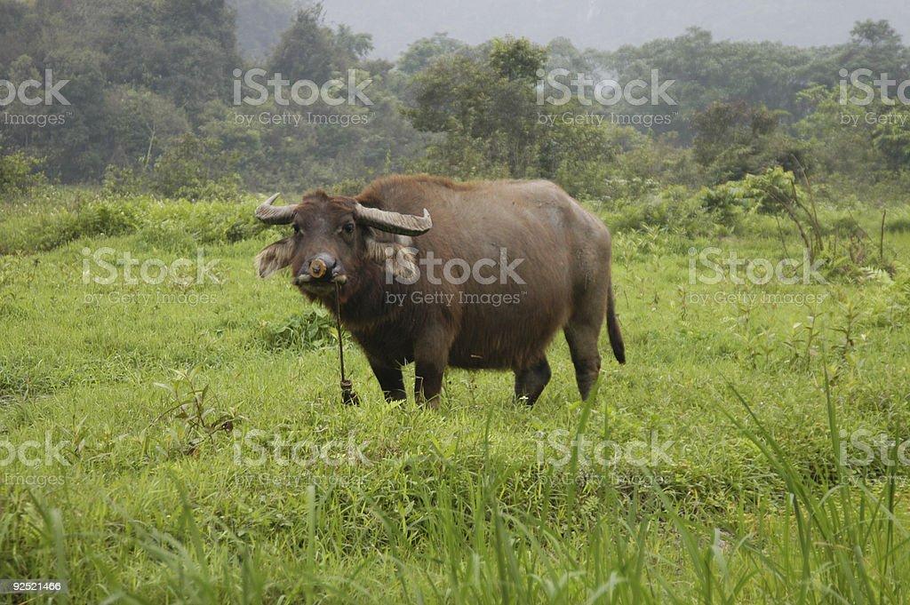 Silly Water Buffalo stock photo