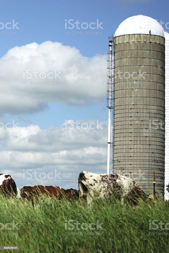 Силосная башня и пастбищных скот Стоковые фото Стоковая фотография
