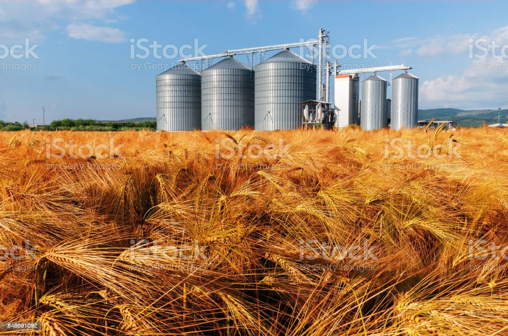 Silos in a barley field. - foto stock