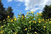 Silphie energy plant (Silphium perfoliatum / Becherpflanze) for biogas.