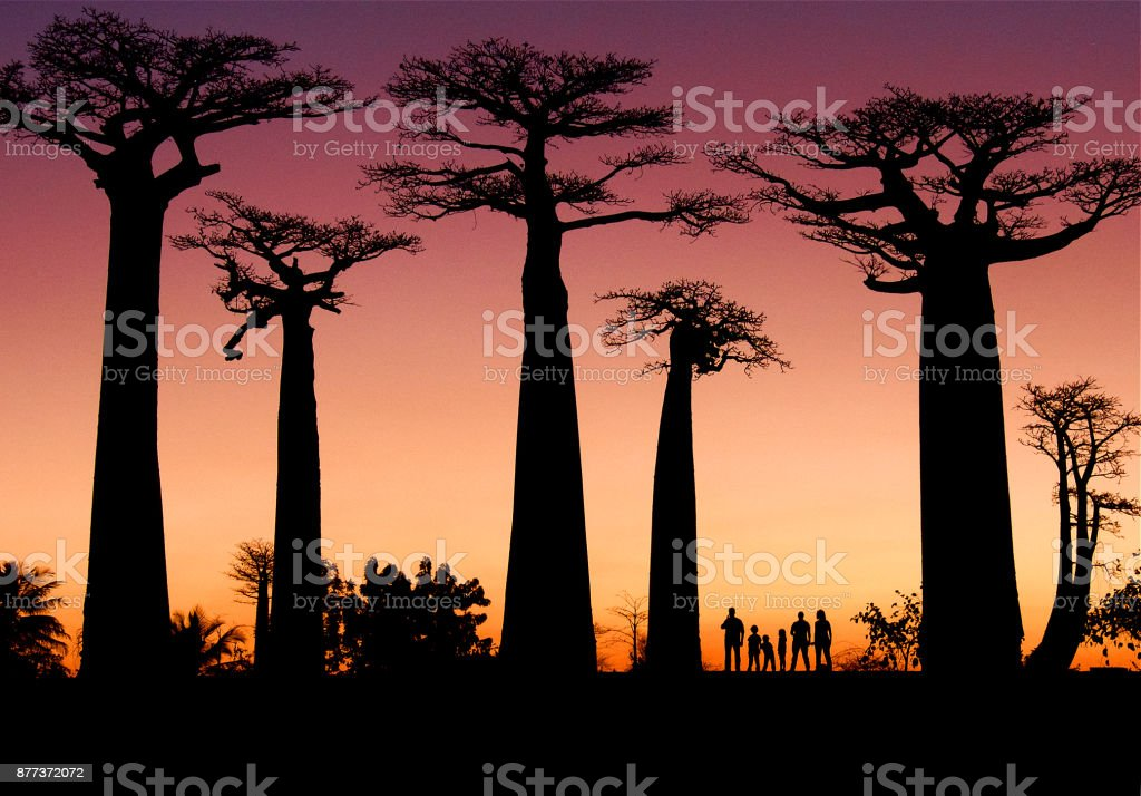 Silueta Baobabs Madagaskar bildbanksfoto