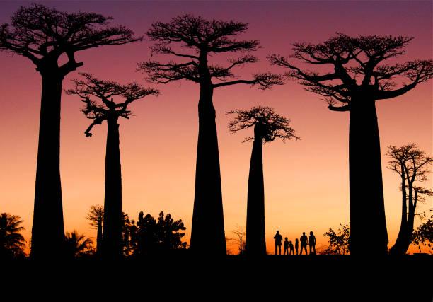 Silueta Baobabs Madagascar stock photo