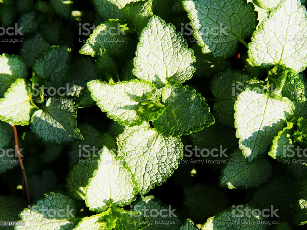 Silver And Green Leaves Lamium Maculatum White Nancy Stock Photo