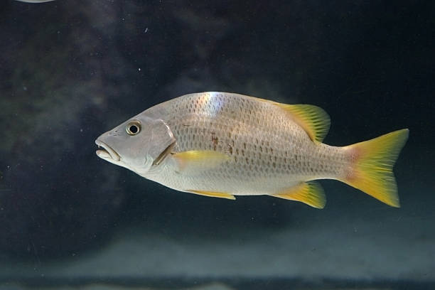 Silver and Yellow Fish stock photo