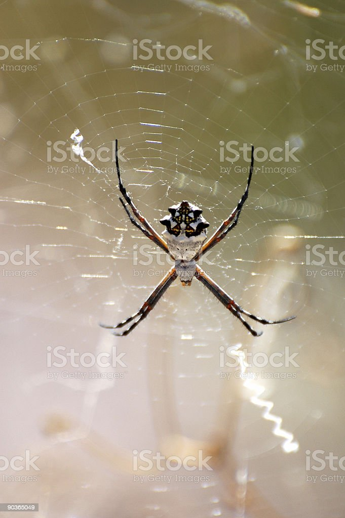 silver argiope spider royalty-free stock photo